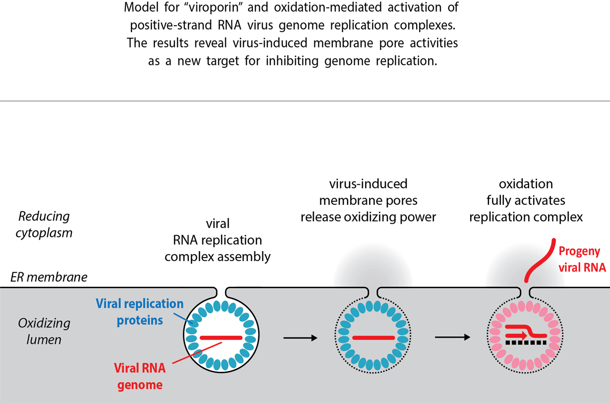 New step in the viral genome replication process