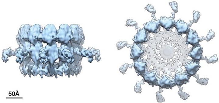 RNA replication crown complex